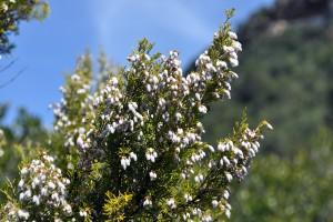 Brezo natural en flor